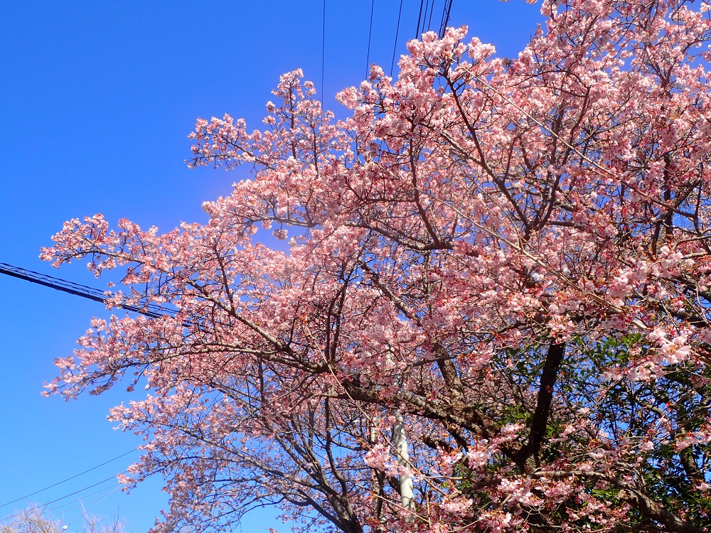 早咲桜満開