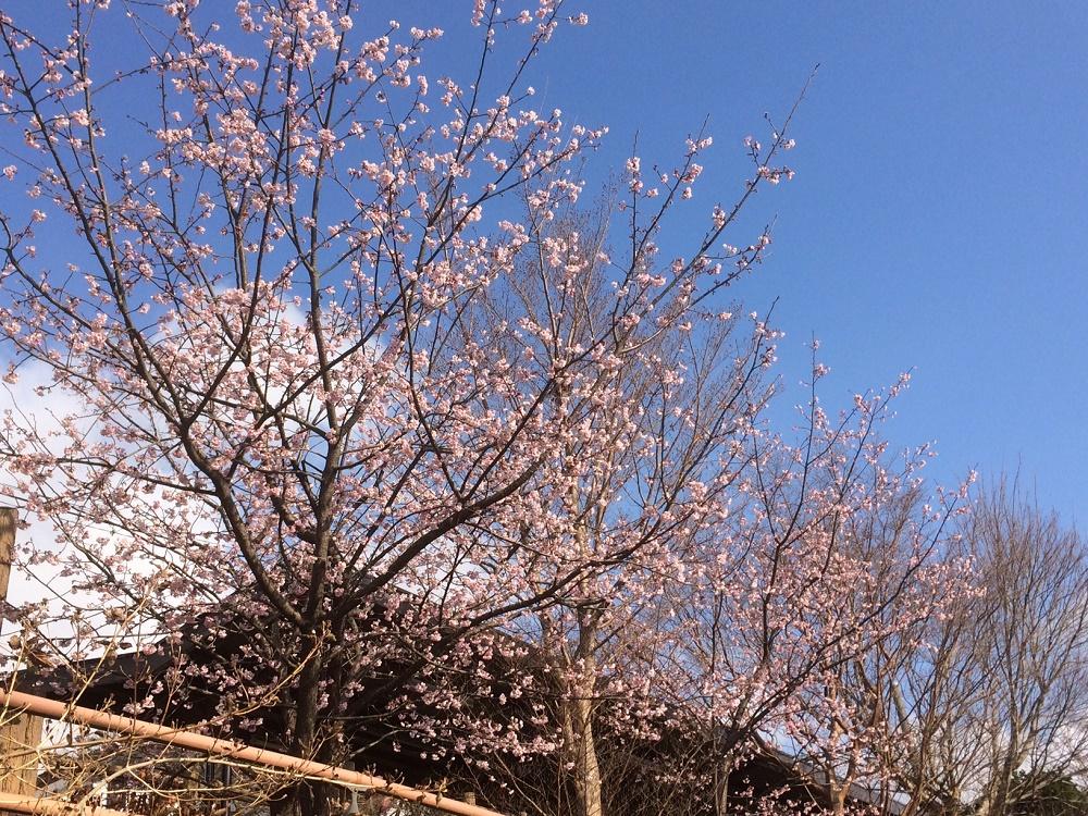 城ケ崎海岸駅で咲く桜の花