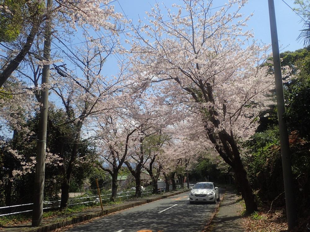 桜の花を見ながらのダイビング