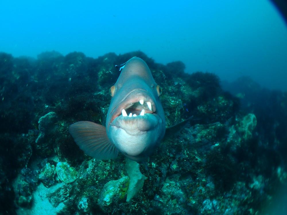 コブダイ大接近、 正面顔の歯並びの悪さは魚一?