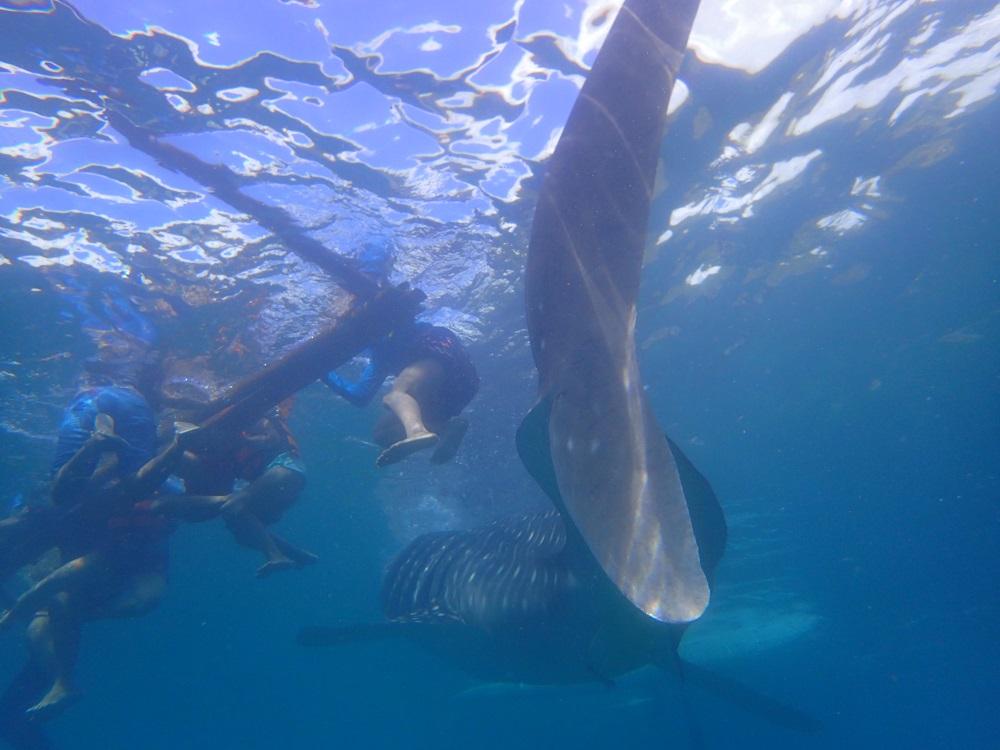 数匹のジンベイザメに囲まれ、超接近
