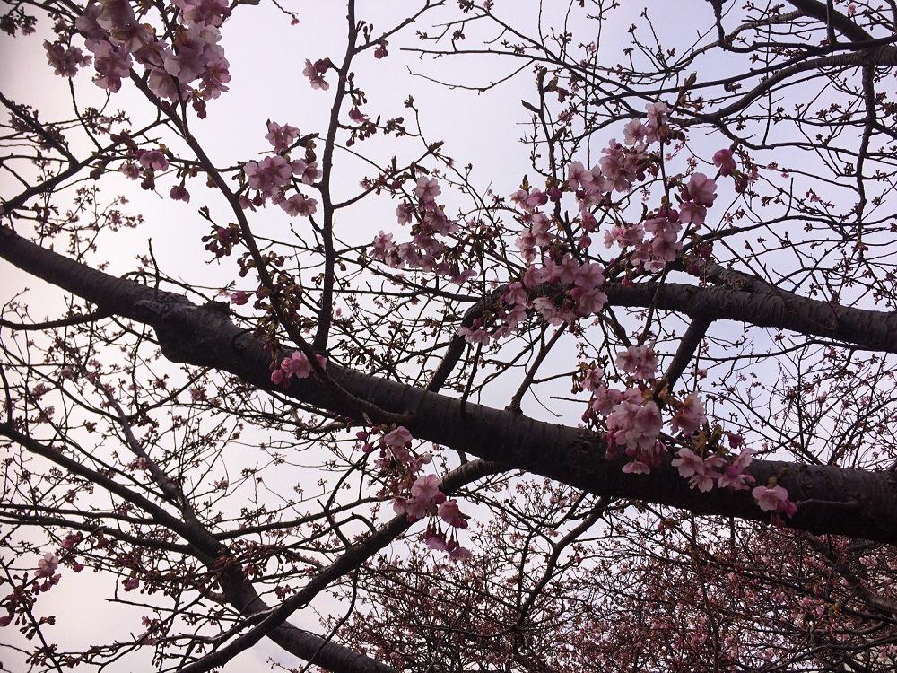 河津桜3分咲