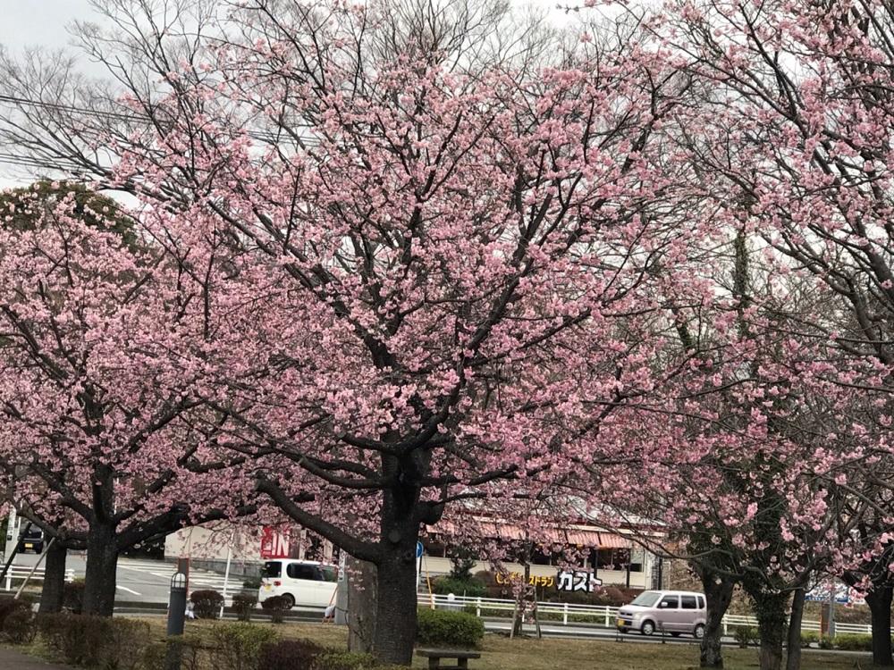 伊豆高原・桜並木