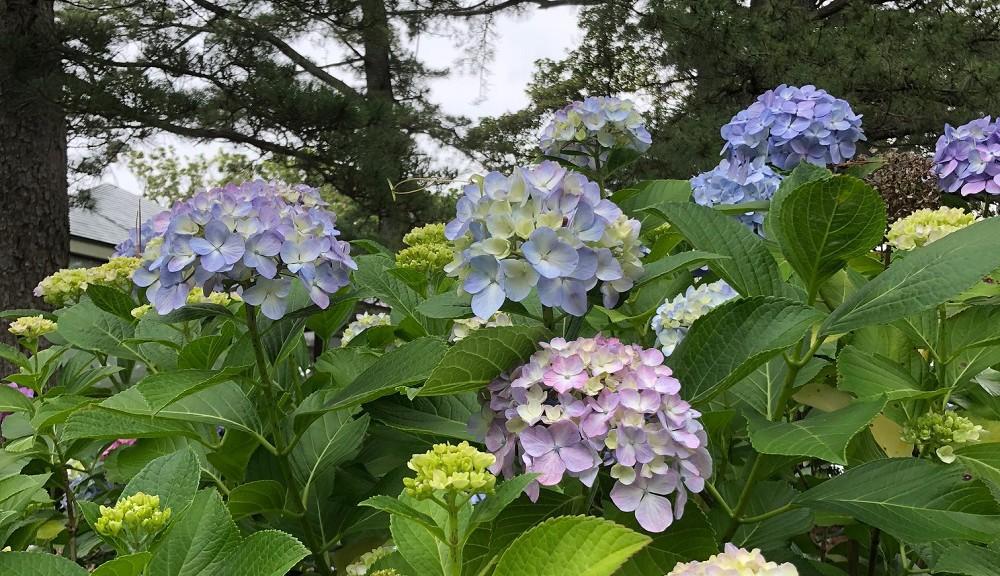 伊豆海洋公園・紫陽花