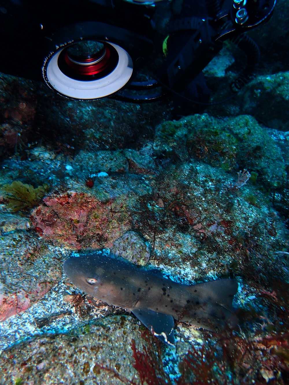 ドチザメ幼魚・体長30cm未満