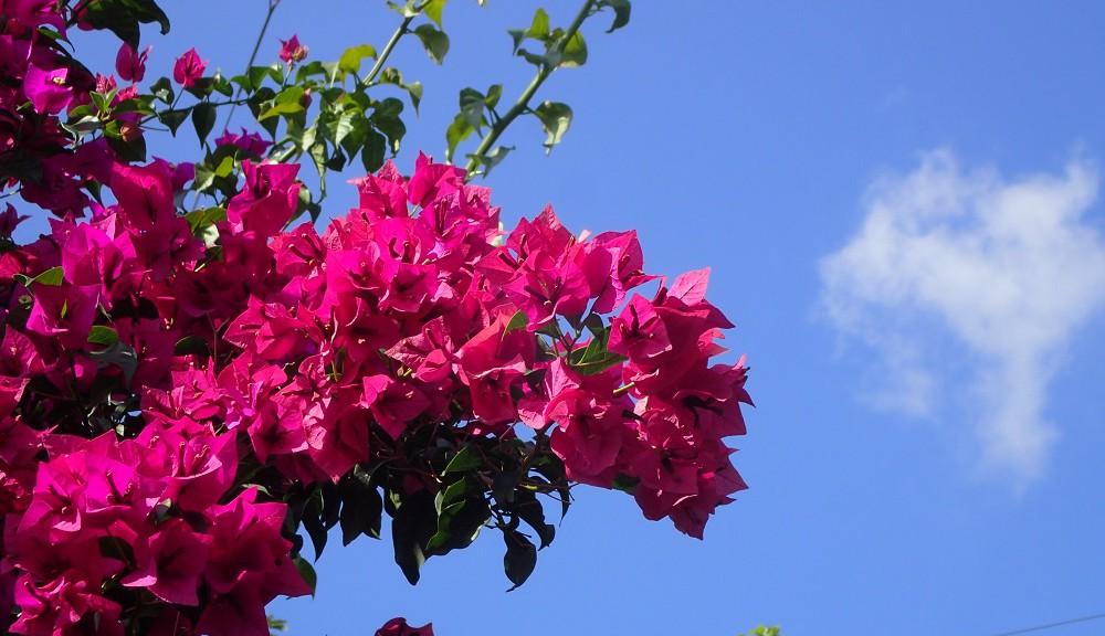 青い空に映えるブーゲンビリア