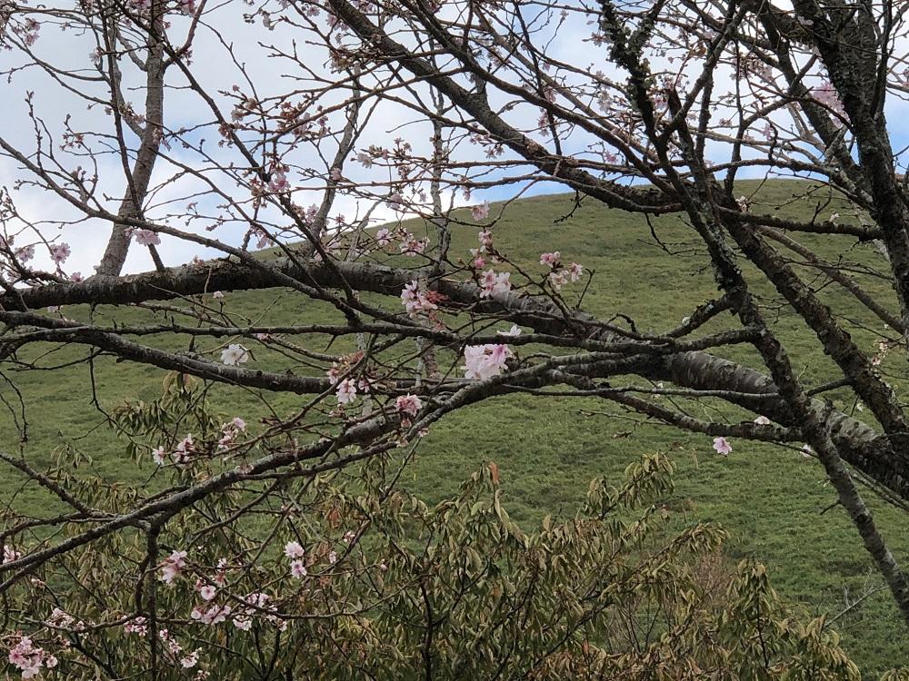 桜咲く、開花???