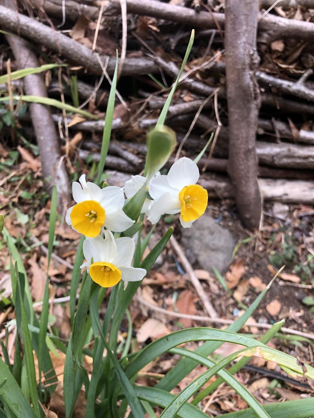 水仙の花・春は近い