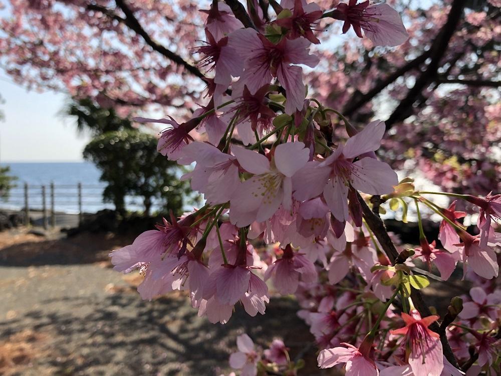 伊豆高原は桜満開
