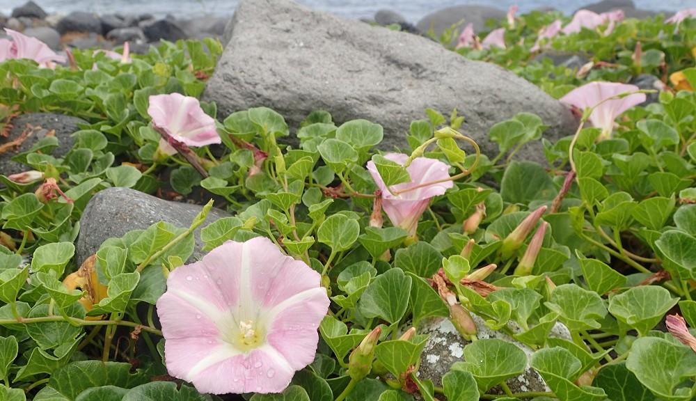 八幡野港・エントリー口に咲くアサガオ