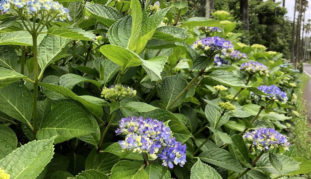 伊豆海洋公園に咲く紫陽花