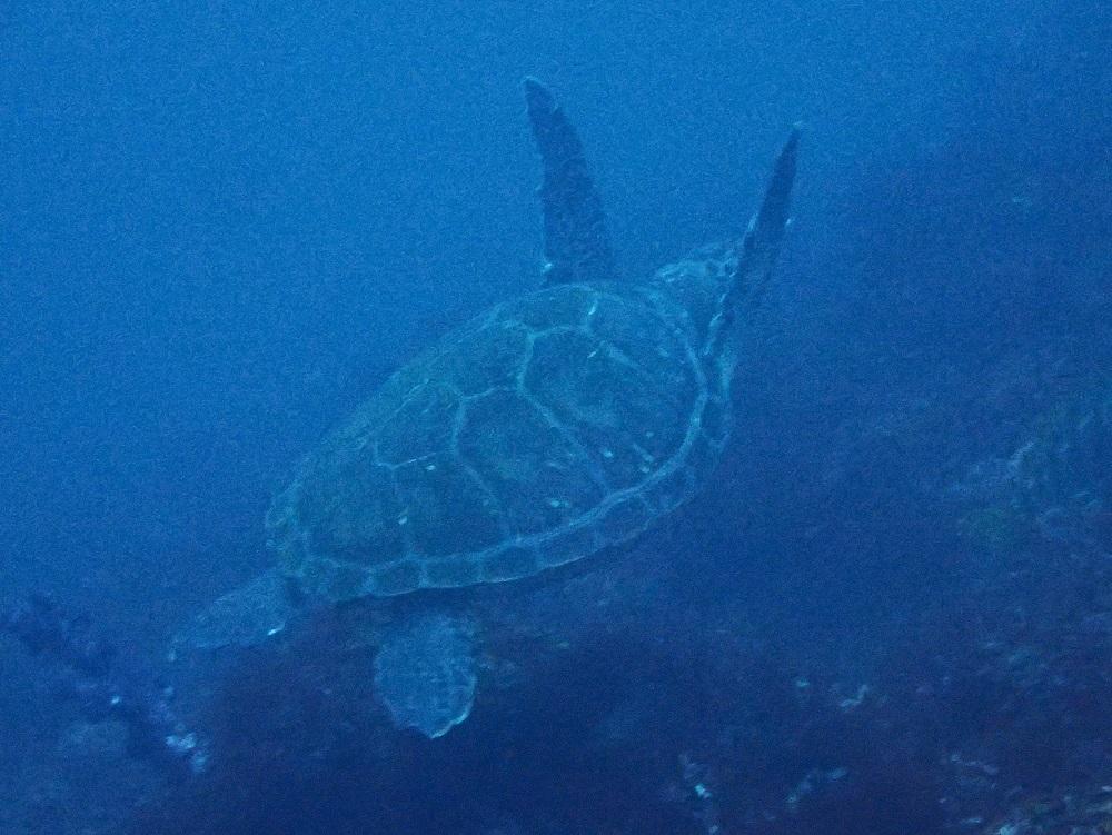アオウミガメ・その2