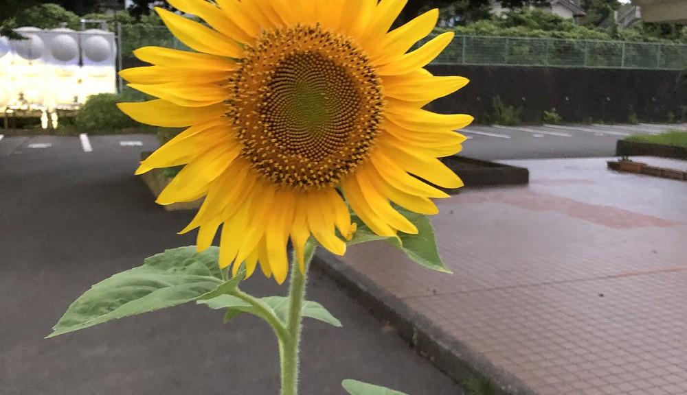 夏の花・ひまわり