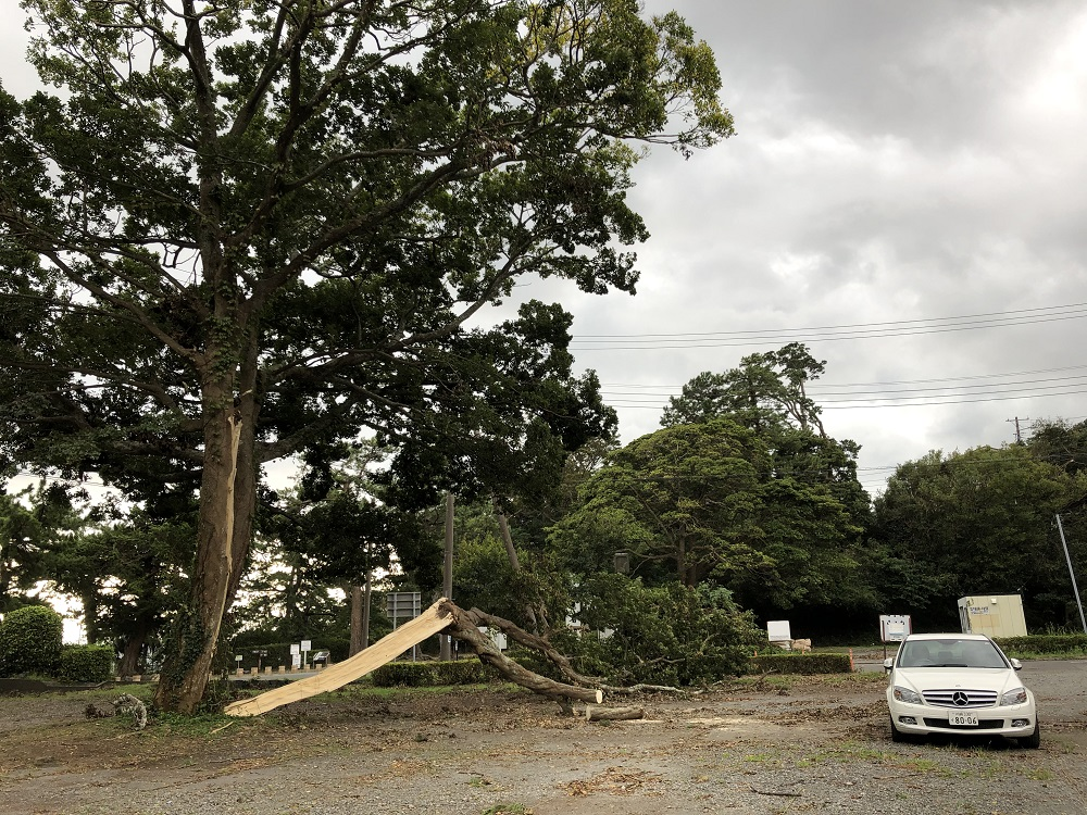 車と比べると折れた木の大きさがわかる