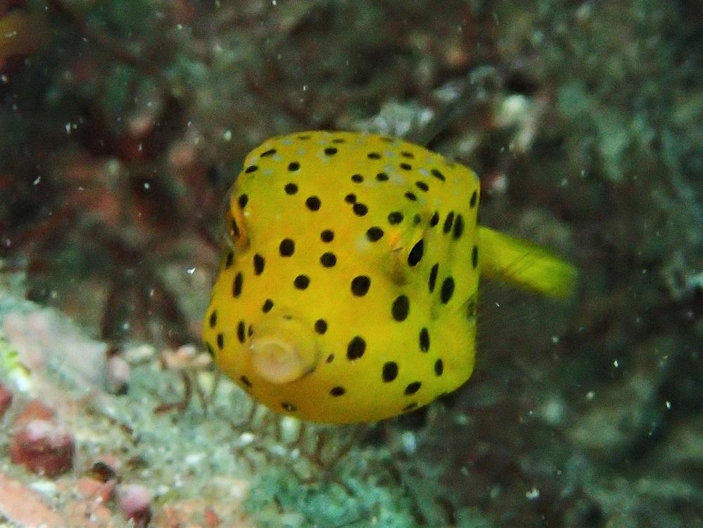 夏から秋、浅場のアイドル・ミナミハコフグ幼魚