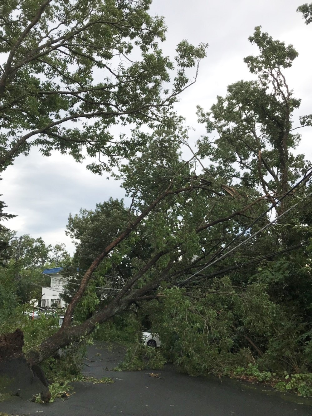 暴風雨で根元から折れ、道路をふさいだ大木