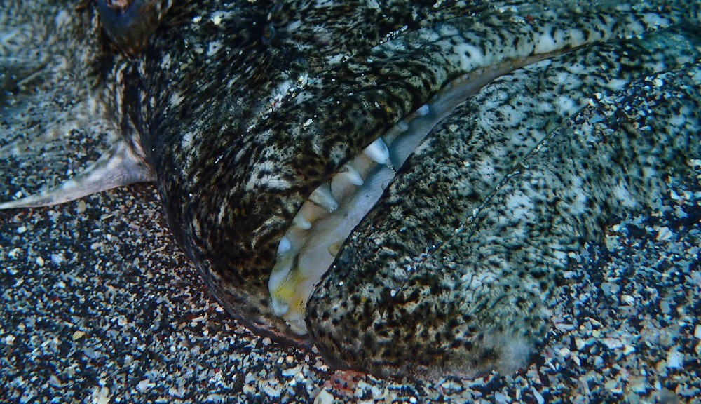 伊豆海洋公園砂地にて、鋭い歯のヒラメ