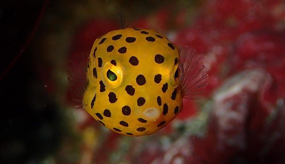 成長過程が楽しめるミナミハコフグ幼魚