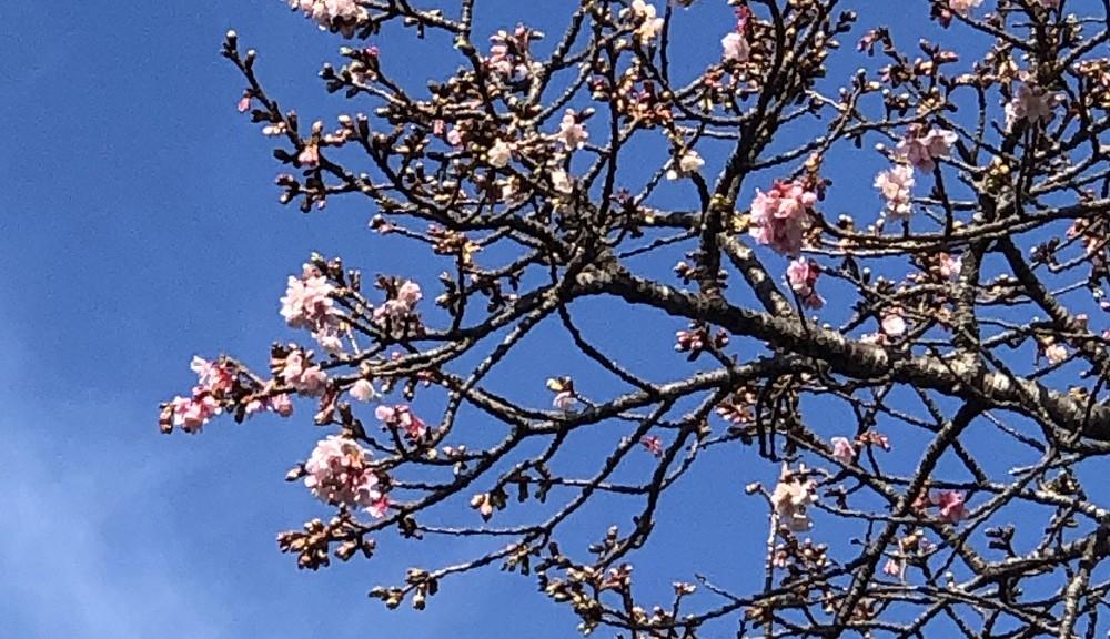 伊豆海洋公園入口に咲く桜