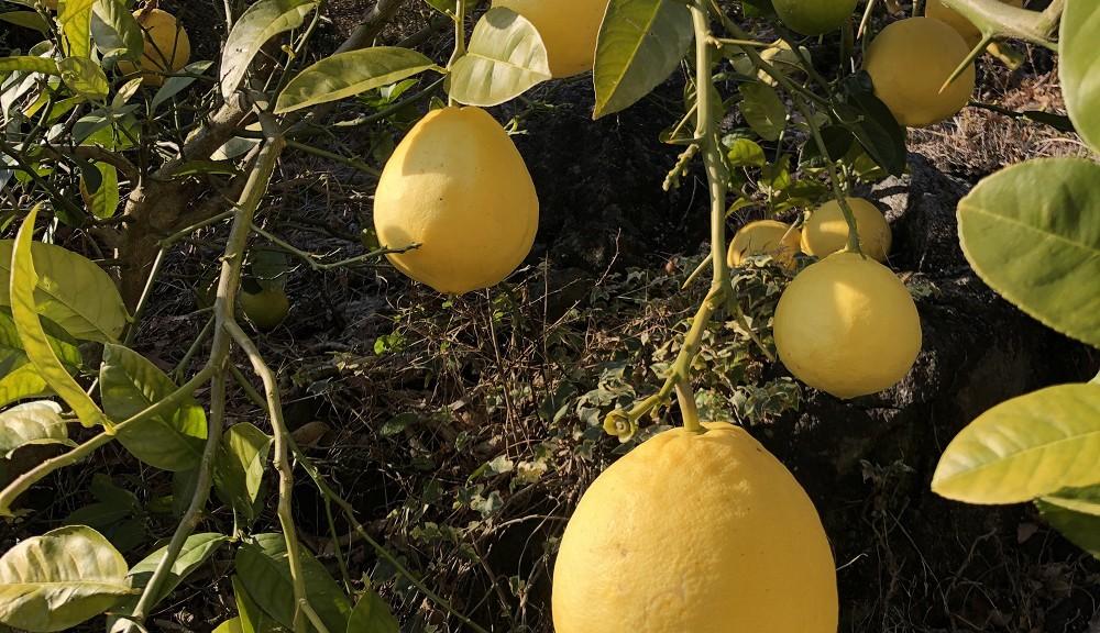 手入れしないでも大きくなったレモン、かなりすっぱい