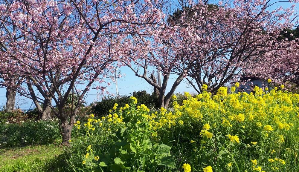 初島・桜と菜の花 photo by Mrs.SHIBATA