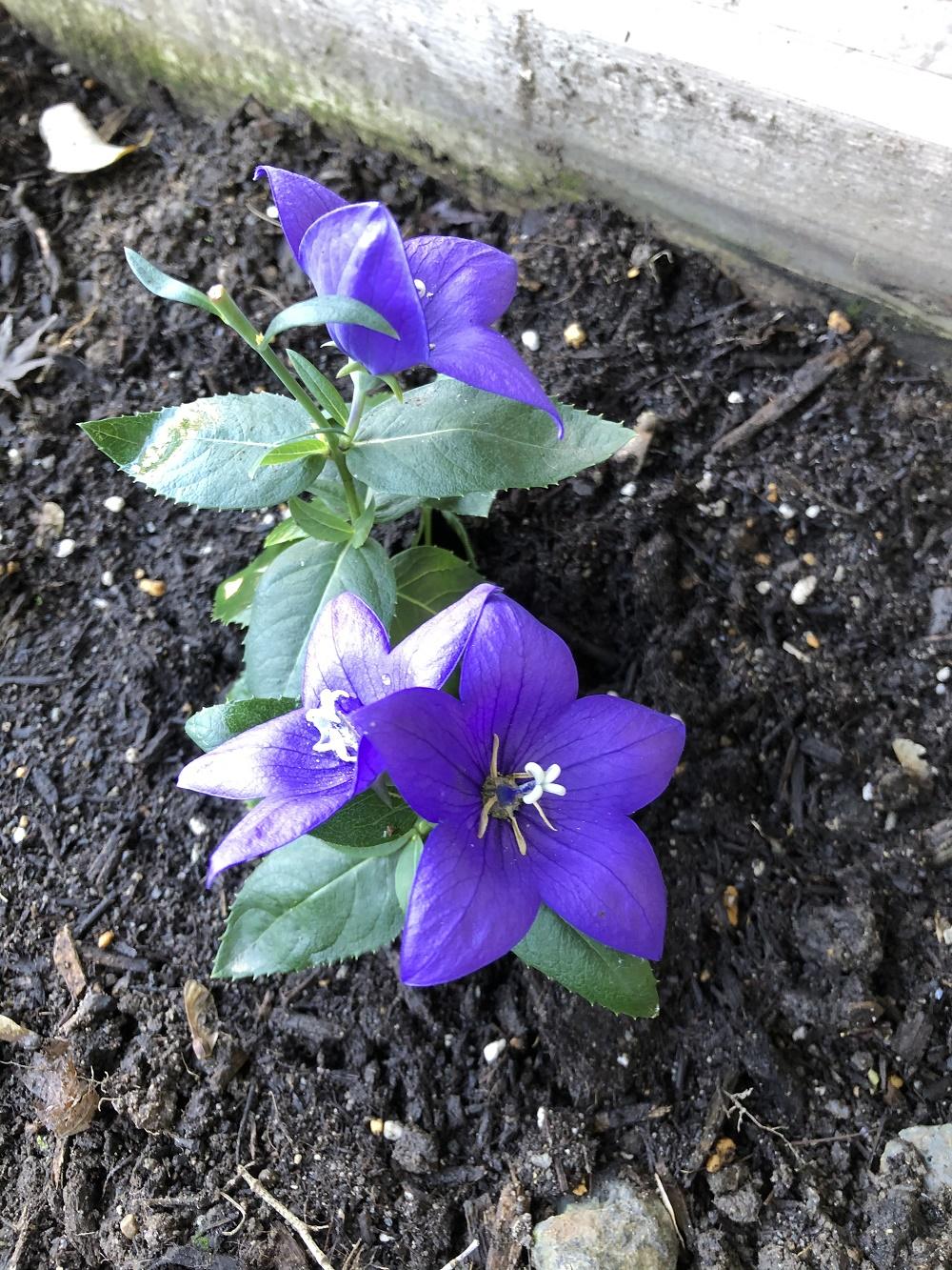 気品高い桔梗の花