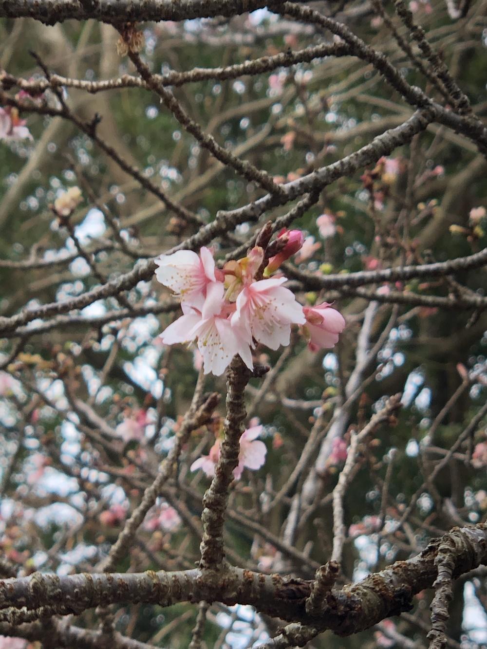 伊豆海洋公園入口に咲く早咲きの桜