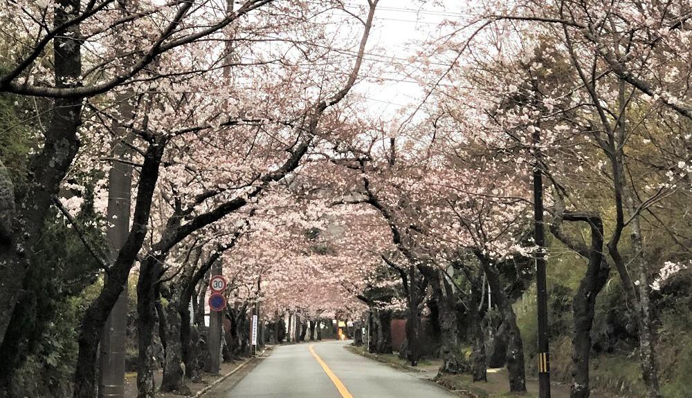 桜並木・満開
