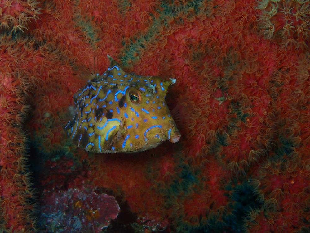 海の雀・シマウミスズメ