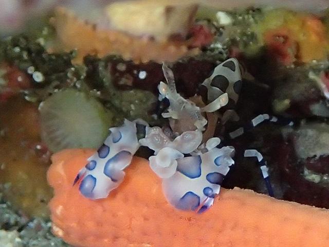 甲殻類不動のアイドル・フリソデエビ