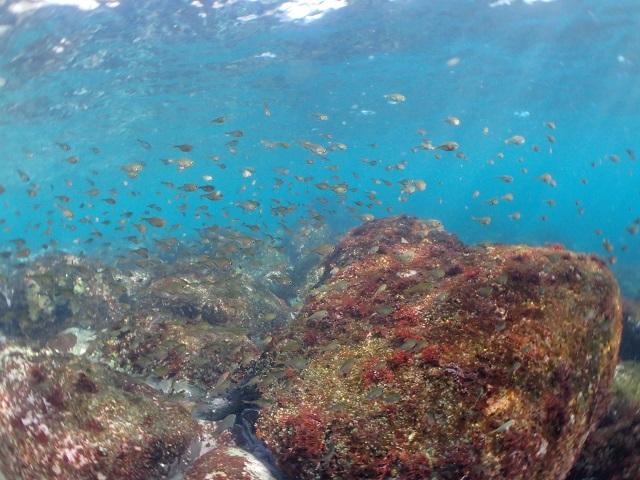 ミナミハタンポ幼魚