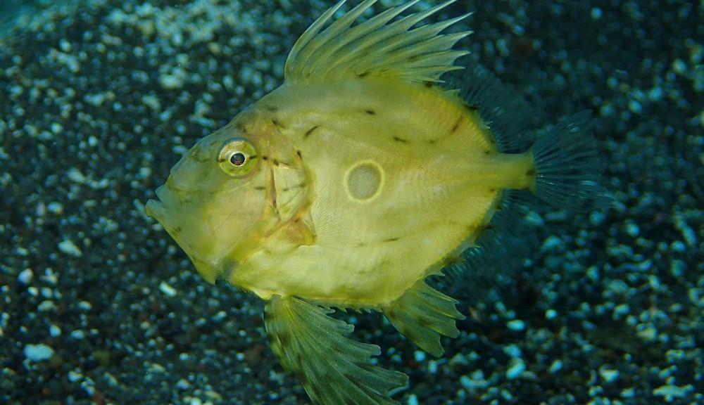 現在成長中、マトウダイ幼魚