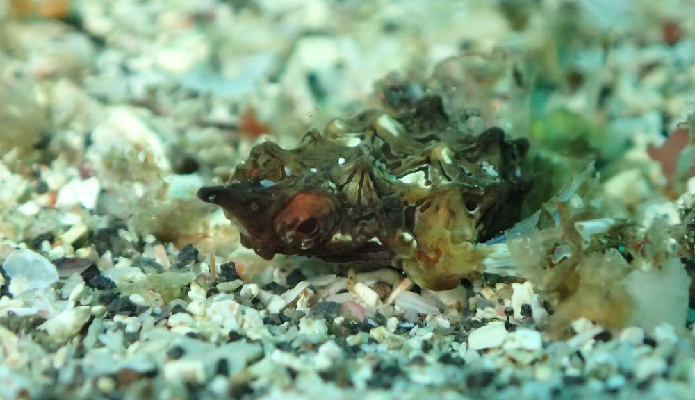 レア!ウミテング幼魚