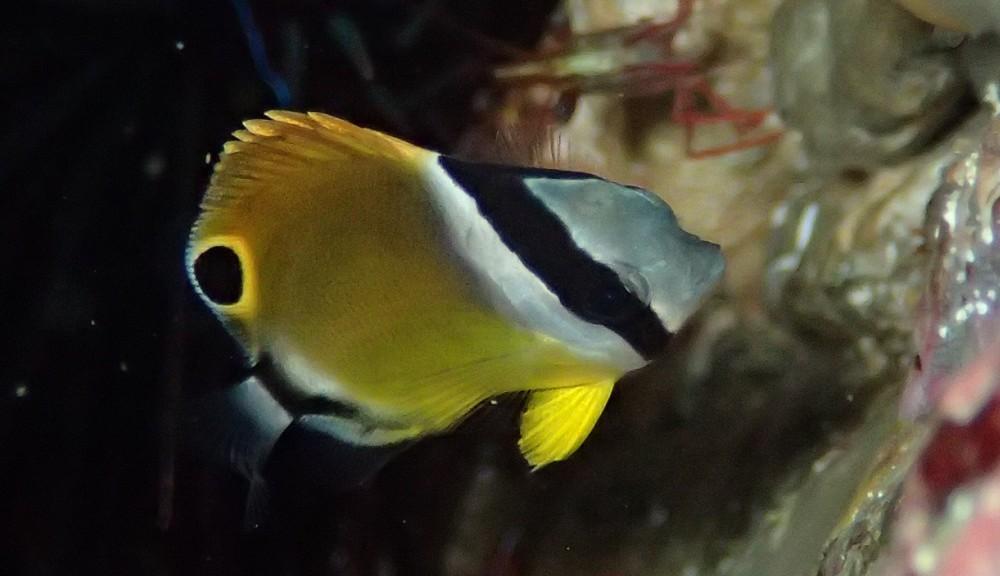 背びれの斑点が特徴・チョウチョウウオ幼魚