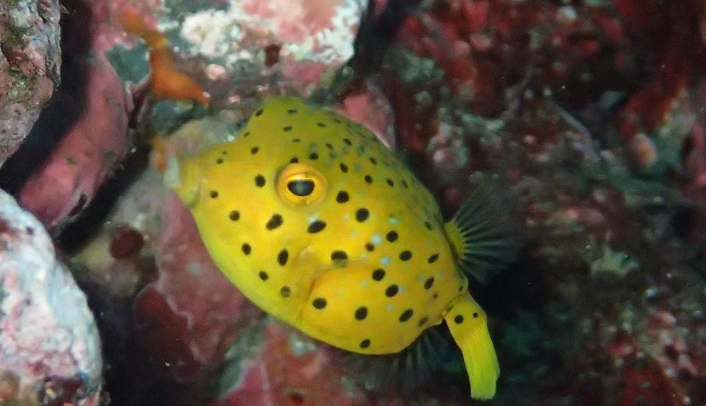 ミナミハコフグ幼魚