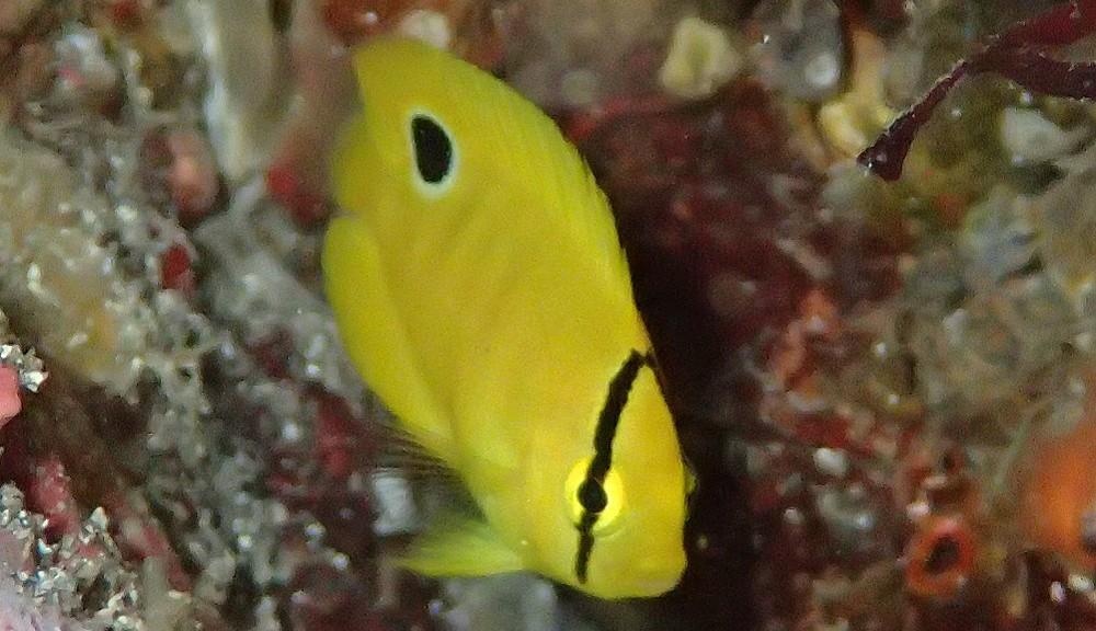 シテンヤッコ幼魚