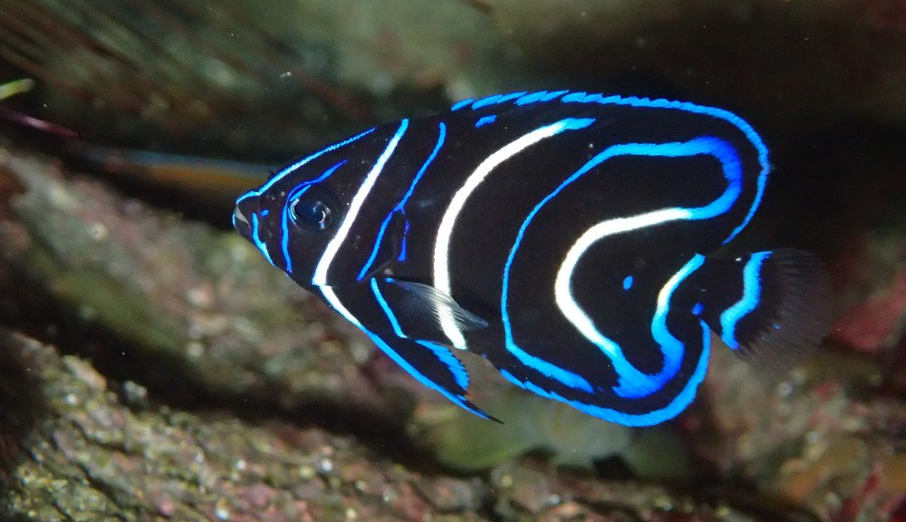 鮮やかサザナミヤッコ幼魚