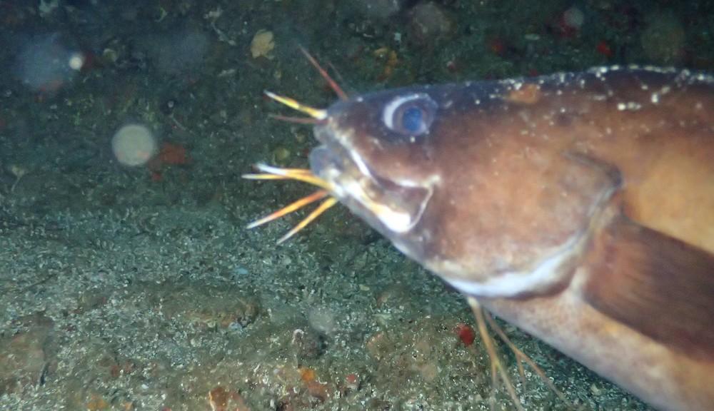 クエ穴の住魚・イタチウオ