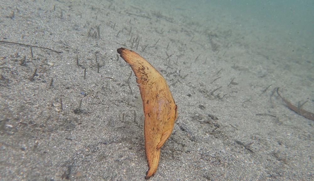 超浅場を浮遊、ナンヨウツバメウオ
