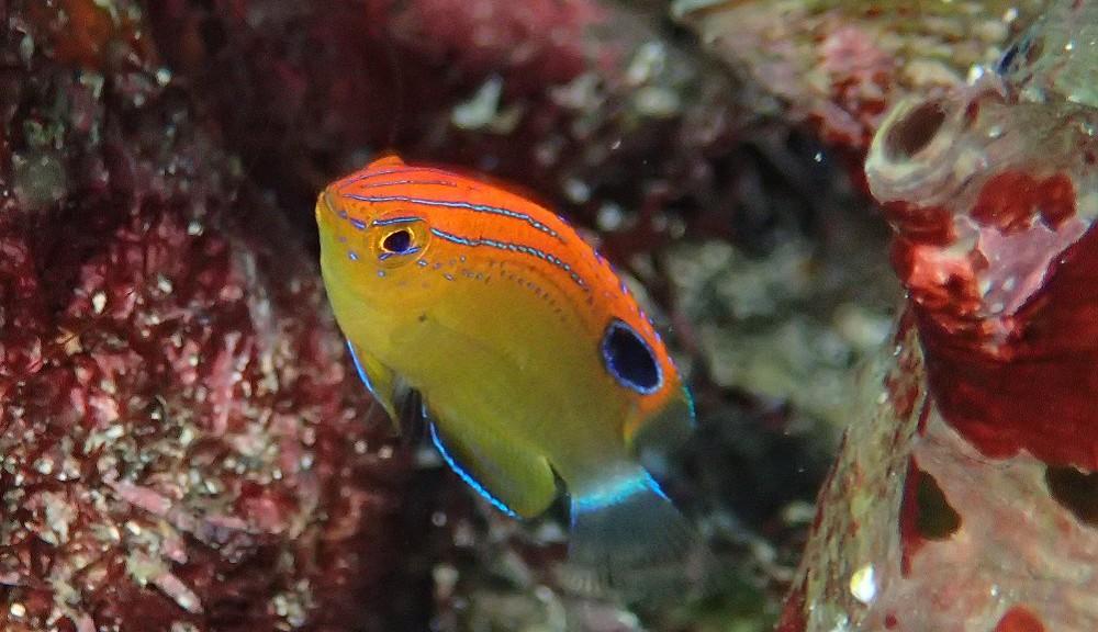 クロメガネスズメダイ幼魚