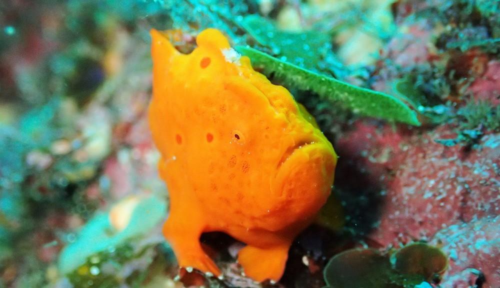 少し大きくなった?イロカエルアンコウ幼魚