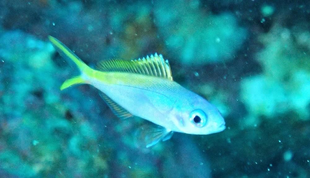 目が釘づけ、ウメイロモドキ幼魚