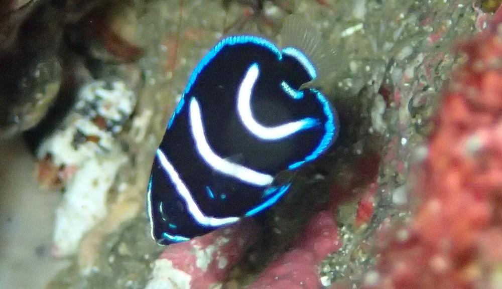 今日のサザナミヤッコ幼魚