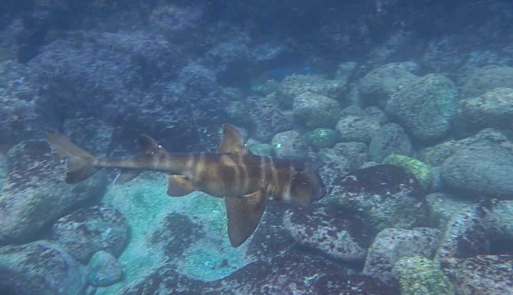 泳ぎ去るネコザメ