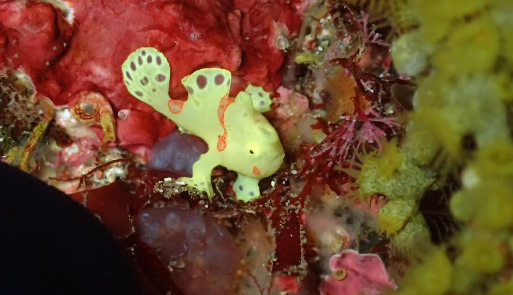 イロカエルアンコウ幼魚(黄色)