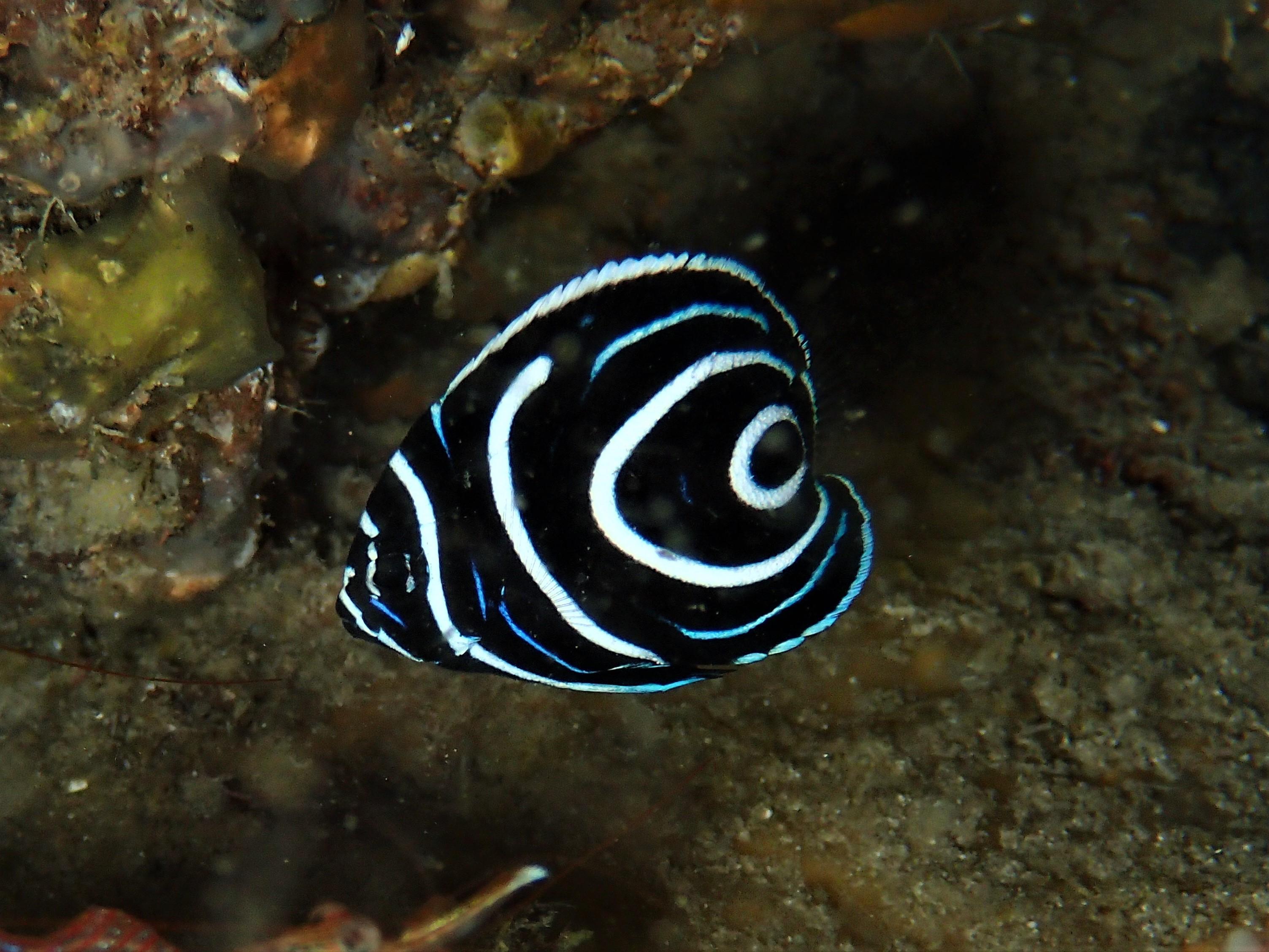 すくすく成長タテジマキンチャクダイ幼魚