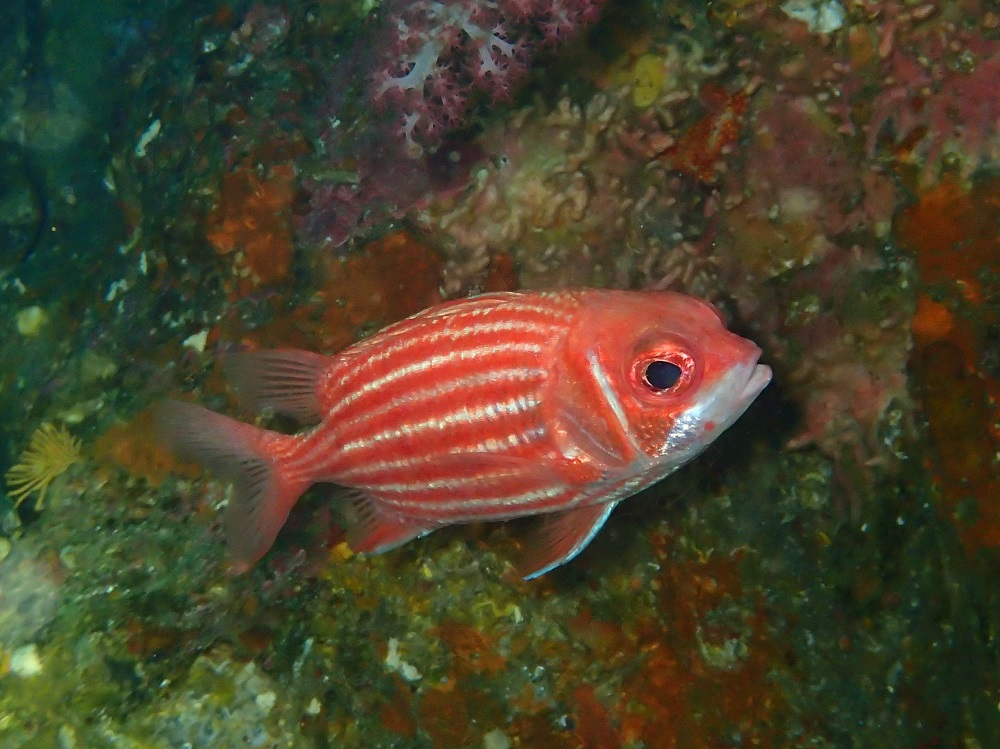 岩礁域・やや深場に住むイットウダイ