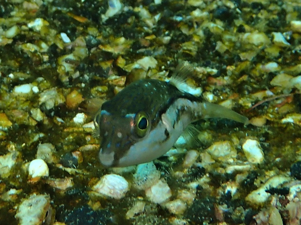 マメマクラ(キタマクラ幼魚)