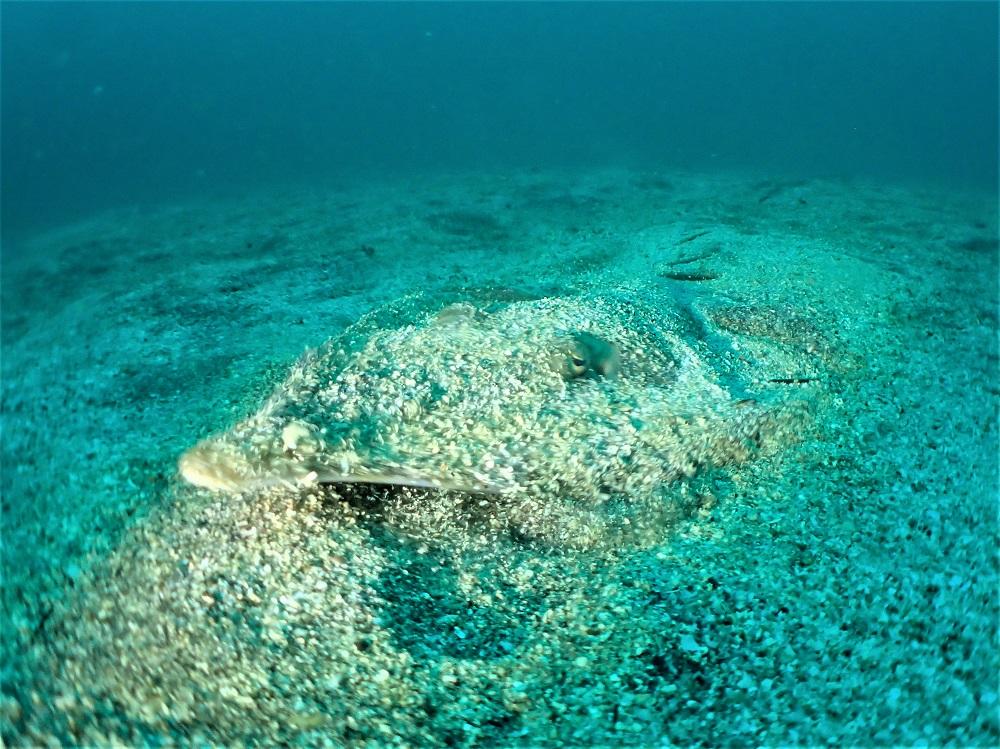 砂地・水深20m付近にてサカタザメ