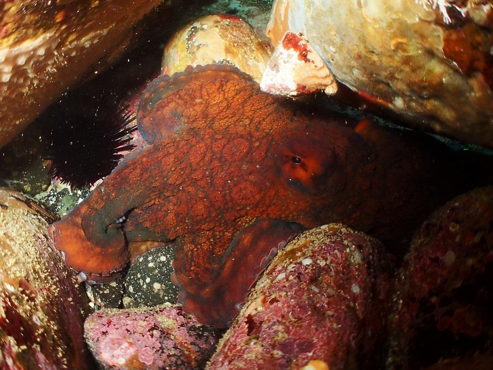 水深3mにてマダコ